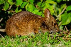 Op het Sluiten met Marsh Rabbit Stock Afbeeldingen