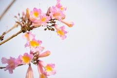 Op het Sluiten van Roze Trompetbloemen Stock Afbeeldingen