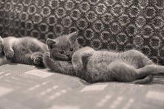 Op het tapijt liggen en katjes die omhoog eruit zien Stock Afbeeldingen