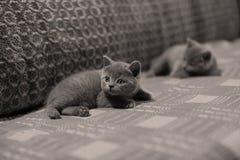 Op het tapijt liggen en katjes die omhoog eruit zien Royalty-vrije Stock Fotografie