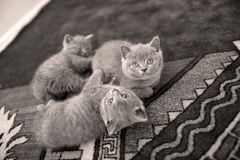Op het tapijt liggen en katjes die omhoog eruit zien Royalty-vrije Stock Afbeeldingen