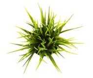 Op hoogste decoratief gras in geïsoleerde bloempot royalty-vrije stock foto's