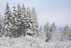 Op kleine open plek groeien de bont-bomen Royalty-vrije Stock Afbeeldingen
