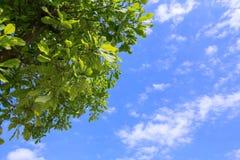 Op mening van groene bladeren op blauwe hemel als achtergrond Stock Fotografie