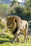 Op Prowl Royalty-vrije Stock Foto's