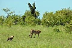 Op safari Stock Foto