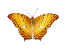 Op sikt av den orange fjärilen med flygvingar som isoleras på vit Royaltyfri Foto