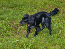 op stolpesterilisation för svart hund Royaltyfria Bilder