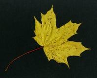 Op zwarte achtergrond - het gele hout van de blad Canadese esdoorn stock afbeeldingen