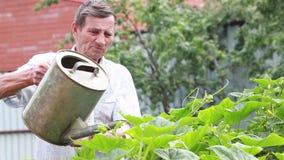 Opa met een gieter die de bedden in de tuin in de zomer water geven stock video