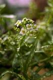 Opadowa woda na roślinach Obraz Royalty Free