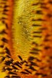 opadowy słonecznik Obraz Royalty Free