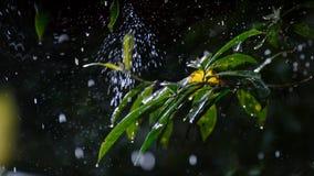 Opady deszczu kropelka na zielonych liściach fotografia royalty free