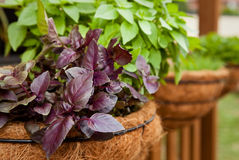 Opal basil herb in hanging basket Royalty Free Stock Photography