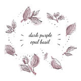 Opal Basil púrpura oscuro Fotos de archivo libres de regalías