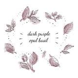Opal Basil roxo escuro Fotos de Stock Royalty Free