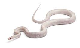 Opale Mais-Schlange oder rote Ratte-Schlange, Pantherophis Stockfotografie