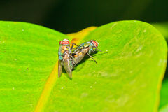 Opalescant fly Royalty Free Stock Images
