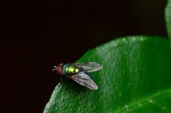 Opalescent μύγα Στοκ Φωτογραφίες