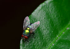 Opalescent fly Stock Images