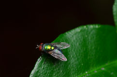 Opalescent fly. The colour of fly on macro lens looks glitter Stock Photos