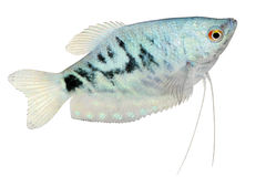 Opaline Gourami Trichopodus trichopterus tropical aquarium fish Royalty Free Stock Photography