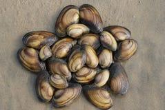 opanowana mollusk skorup gwiazda Zdjęcia Royalty Free