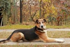 opanowany pies obraz royalty free