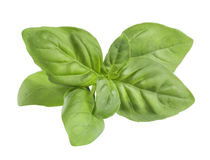 Opaque green basil leaves isolated on white background Royalty Free Stock Photos