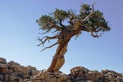 Oparty Samotny drzewo Fotografia Royalty Free
