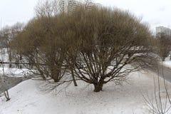 Opavshee-Winterbaum Stockfotografie