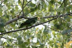 Opdracht van een Papegaai van Amazonië Royalty-vrije Stock Foto