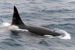 Opduikende volwassen mannelijke Orka, Brakkanaal, Chili stock fotografie