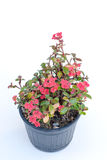 Ope Sian flower Euphorbia milii small red pot black. Cut the w Stock Photography