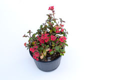 Ope Sian flower Euphorbia milii small red pot black. Cut the w Stock Photos