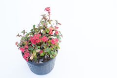 Ope Sian flower Euphorbia milii small red pot black. Cut the Royalty Free Stock Photos