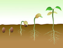 Opeenvolging van de germinatie van boonzaden in grond Royalty-vrije Stock Afbeeldingen