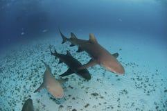 Opeenvolging van haaien Royalty-vrije Stock Foto