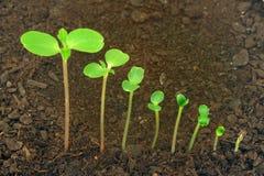 Opeenvolging van Impatiens balsaminabloem het groeien Stock Foto's