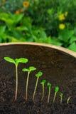 Opeenvolging van Impatiens balsaminabloem het groeien Stock Fotografie