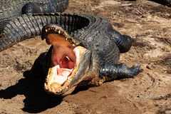Open alligator mouth. An alligator demonstrating its open mouth Royalty Free Stock Images