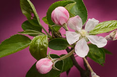 Open apple blossom and buds with green leaves against pink. Open white apple flower blossom and closed buds on branch with green leaves against pink background Royalty Free Stock Image