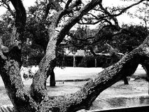 Open Arms of Nature. The limbs of this Southern Live Oak tree spread outward, as if in welcome Stock Photos