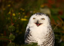 Open beak. A photo of a snow owl stock images