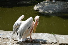 With open beak Pelican Stock Image