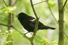 Open Beaked Male Red Winged Blackbird Royalty Free Stock Photography