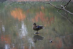 Open beaked mallard. Isolated female mallard standing on one foot on a rock in the water with reflection of autumn leaves Royalty Free Stock Photos