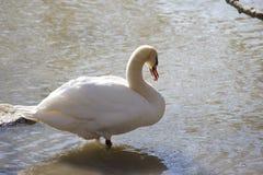 Open Beaked Swan Stock Images
