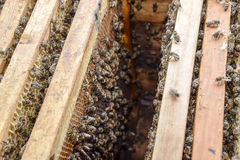 Open bee hive. Plank with honeycomb in the hive. The bees crawl along the hive. Honey bee. Royalty Free Stock Photos