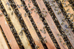 Open bee hive. Plank with honeycomb in the hive. The bees crawl along the hive. Honey bee. Royalty Free Stock Photo